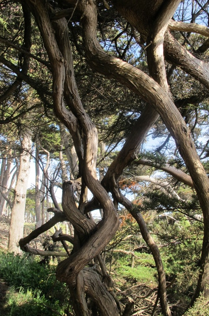Twisted Tree at Sutro Bath
