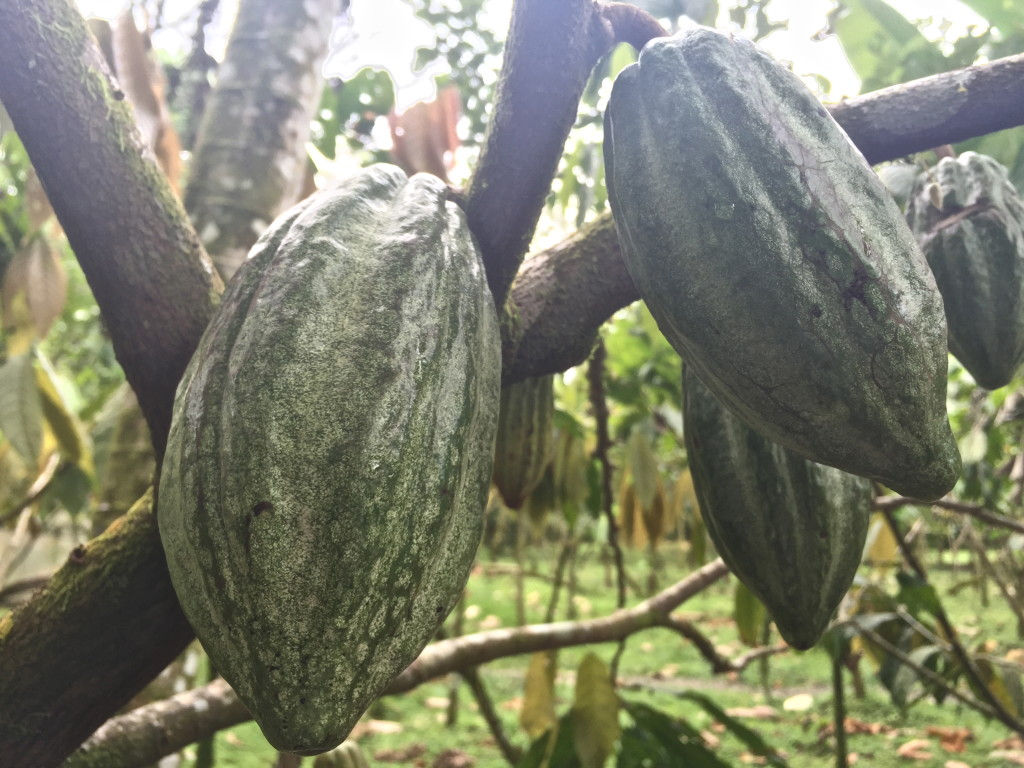 Green cocoa pods
