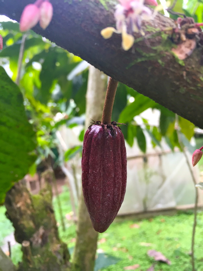 Young purple cocoa pod