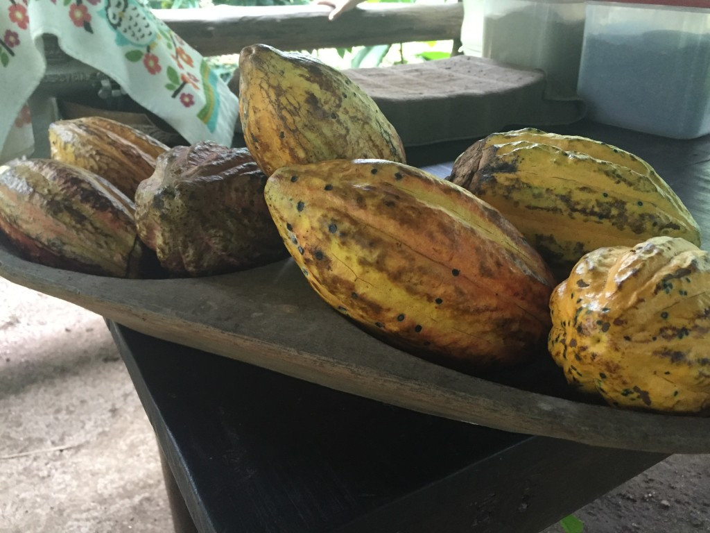 Yellow cocoa pods, already picked